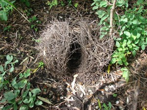 Bower_bird_nest_kowanyama